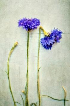 blue flowers s (1)